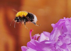 Just leaving (dlanor smada) Tags: flowers bees rhododendrons ashowoff