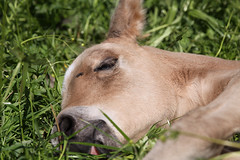 Sweet Dreams (winkler.roger) Tags: horse animal filly foal americanquarterhorse domesticanimal
