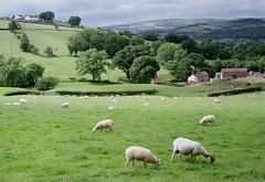 Derbyshire farms (Blue Pelican) Tags: glossop derbyshire farms brownhill jumble sheep film olympus om2n july