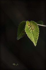 Detalls - Detalles - Details (Modest Minguella (On/Off)) Tags: black macro verde green hoja leaves hojas leaf details negro detalles negre modest verd fulla detalls sigma105mmmacro fulles canoneos500d lhospitaletnord hospitaletnorte nordhospitalet