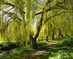 Walking through the Willows. Longord Park, Coventry. (richardfulford1) Tags: willow tree coventry longford park footpath d7200 sigma 1850 nikon