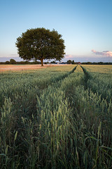 Lone tree in wheatfield (wiscmic) Tags: baum bäume clouds deutschland germany herten landschaft natur nature sommer sonnenuntergang summer sunset tree trees weizenfeld landscape wheatfield nordrheinwestfalen nrw