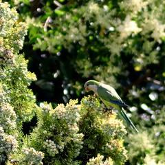El ursupador (trancos74) Tags: color verde green cotorra cotorraargentina usurpador