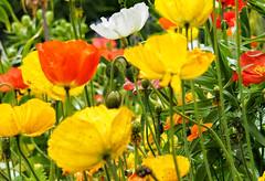 mixed poppies (Simple_Sight) Tags: flower mohn farbig bunt poppy meran ngc s c its all rock roll npc