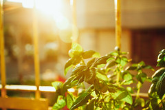 _MG_1742 (WayChen_C) Tags: basil   sunset plant