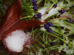Winter (Dennis Mortimer) Tags: leaf snow    parnitha