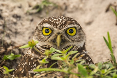 Burrowing owl (tonymodane) Tags: florida davie burrowingowl browardcounty