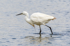 Egret striding out (andymulhearn) Tags: sigma150600mmc eos7d2 canon slimbridge wwt gloucestershire flickrbirds 150600mmf563dgoshsm|c