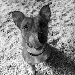 Quadress13Aug1600128-Edit.jpg (fredstrobel) Tags: dogs pawsatanta phototype atlanta blackandwhite usa animals ga pets places pawsdogs decatur georgia unitedstates us