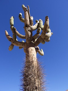 Région d'Arica, Parc Lauca, Cactus Chandelier