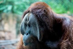 3O4A2101 (zcmcclary) Tags: louisvillezoo orangutan animal wild