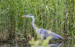 9Q6A2410 (2) (Alinbidford) Tags: heron kingfisher muteswan moorhen greyheron brandonmarsh alancurtis pairofkingfishers alinbidford