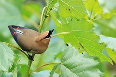 209 (2) Insect Hunt (srypstra) Tags: cedar waxwing beetle larvae