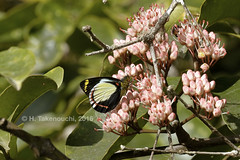 Delias dixeyi (pirotake) Tags: insect butterfly butterflies papua nature delias pieridae