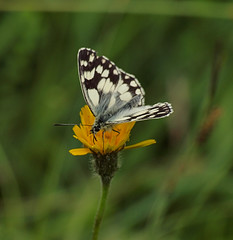 2016_06_0827 (petermit2) Tags: marbledwhitebutterfly marbledwhite butterfly brockadale northyorkshire yorkshire yorkshirewildlifetrust ywt wildlifetrusts wildlifetrust
