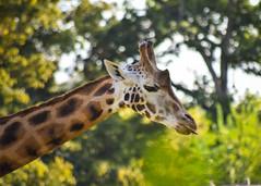 amneville-166 (cedric vis) Tags: girafe
