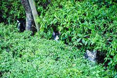 Today's Cat@2016-08-08 (masatsu) Tags: cat catspotting thebiggestgroupwithonlycats pentax mx1