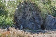 Tiny Penguin in Tussac Grass (Tim Melling) Tags: parodiochloa poa flabellata tussock tussac grass magellanic penguin carcass island spheniscus magellanicus timmelling falkland islands