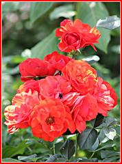 Fire Chief Red (bigbrowneyez) Tags: roses redroses firechiefred fiori gorgeous petals rich vibrant romance romantic natura fabulous lovely glowing priceless precious amazing awesome bouquet myfrontgarden miogiardino striking bright breathtaking dynamic bokeh redgreen light luce fioi rose delightful onfire rossofuoco fuoco rosecluster blossoms nature