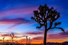 """""""@Interior A scene from a Dr. Seuss book- Twisted, spiky trees silhouetted at #sunset @JoshuaTreeNPS by David Curry """" (manbeachrm) Tags:  clouds sunsets  blue naturelovers sunrise orange sunsetstream sunsetporn sundown skylovers pordosol cloud skylinen natureperfection naturelover landscapelovers landscapes natur landscapecaptures horizon puestadesol silhouette instasky piclogy trbsunsetsfx"""