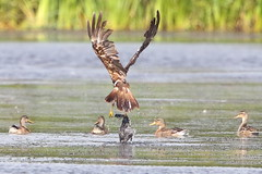 Marsh Harrier and Lunch? (Ged Gill) Tags: leightonmoss marsh harrier coot feeding hunting