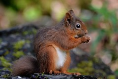 Red Squirrel. (jimbrownrosyth) Tags:
