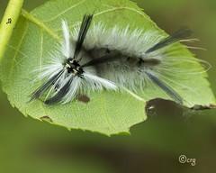 banded tussock (crgillette77) Tags: pennsylvania bradfordcounty caterpillar bandedtussock halysidotatessellaris walnut