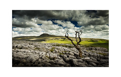 Twistleton Tree - Explore 13.09.2016 No.11 (muddybootsuk) Tags: ingleborough twistleton muddybootsuk england yorkshire yorkshiredales sunshine latesummer clouds landscape limestone ingleton clints grikes pavement greatbritain north northern grimupnorth tree twisted scar