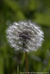 Waiting For A Breeze (Mike Jones Photos) Tags: macro dandelion seeds taraxacumofficinale nikond60