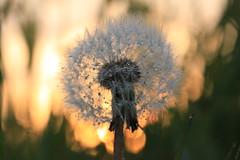Paardenbloem in bloei (jonkermichel88) Tags: sunset flower holland spring zonsondergang nederland dandelion raindrops lente ijssel landschap bloem landsape taraxacum paardenbloem bloei officinale regendruppels hondstong hondenbloem