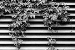 Ivy Lines **Explored** (flashfix) Tags: blackandwhite bw plant ontario canada nature monochrome leaves lines grate nikon shadows branches ottawa ivy urbannature mothernature 2015 d7000 nikond7000 55mm300mm 2015inphotos june092015