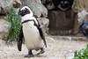 Burgers Zoo Arnhem 2015 : African Penguin - Zwartvoet Pinguïn (Hermen Goud Photography) Tags: zoo arnhem burgerszoo dierentuin burgersdierenpark