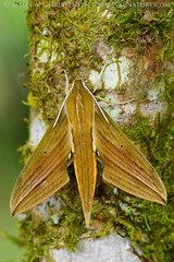 Xylophanes crotonis (Primeval Nature) Tags: southamerica nature vertical insect ecuador rainforest day outdoor wildlife moth insects lepidoptera moths sphingidae macroglossinae cloudforest sphinxmoth hawkmoth insecta fullbody mindo pichincha neotropical sphinginae septimoparaiso septimoparaisocloudforestreserve xylophanescrotonis mindenmay2015