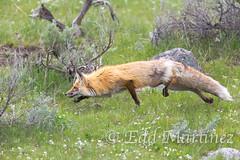 On the hunt. (eddm1962) Tags: hunting fox yellowstone redfox lamarvalley