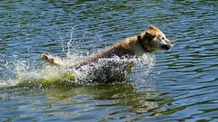 Up, up and Away! (Wijnand Kroes Photography) Tags: dog nature water play sony stick a77ii