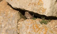 Little Owl (chitsngiggles) Tags: portlandbill littleowl owl bird britishwildlife birds