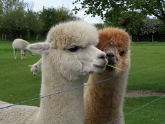GOC The Pelhams 087: Alpacas (Vicugna pacos) (Peter O'Connor aka anemoneprojectors) Tags: england cute alpaca animal mammal kodak outdoor domestic hertfordshire animalia mammalia albury gravesend 2016 vicugna chordate chordata camelidae artiodactyla goc vicugnapacos artiodactyl gayoutdoorclub z981 kodakeasysharez981 gochertfordshire hertfordshiregoc gocthepelhams