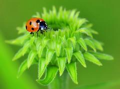 Red on Green (nikkorglass) Tags: red macro green micro ladybird ladybug rd nyckelpiga grn solhatt