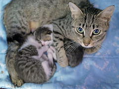 Mama & Babies_11 (AbbyB.) Tags: mtpleasantanimalshelter easthanovernj newjersey shelter pet rescue adopt petphotography shelterpet cat kitten momandkittens babies kitty