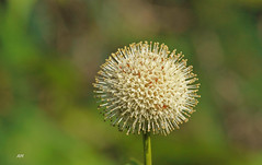 Cphalanthe occidental / Common Buttonbush (alain.maire) Tags: plante plant fleur flower rubiaceae cephalanthusoccidentalis cphalantheoccidental commonbuttonbush boisbouton nature quebec canada