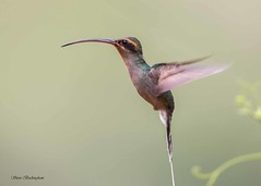 Rufous-breasted Hermit (sbuckinghamnj) Tags: hummingbird rufousbreastedhermit trinidad yerette