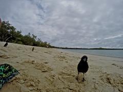 Curiosos (Guilleflash) Tags: curiosos pájaros pajaritos birds pinzones tortugabay islasantacruz ecuador playa arena agua mar islas archipielago galápagos alas mirada curiosidad