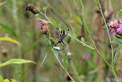 (Balzs Bojtr) Tags: spider hungary rovar canon nature green flower