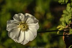 White Flower (johnwilliamson4) Tags: adelaide flora flowersplants macro mygarden nature outdoor southaustralia tamron whiteflower winter australia