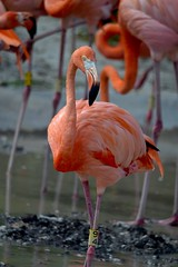 Flamingo Number 94 (bmasdeu) Tags: florida flamingo miami zoo tropical birds
