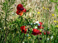 2016-07-20 wheat (48)poppies (april-mo) Tags: poppies wheat wheatfield wildflowers july summer t fleurssauvages coquelicots bl