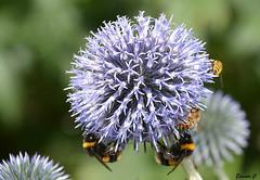 Open for Business (Eleanor (No multiple invites please)) Tags: flower blueflower globethistle bees canonspark stanmore uk nikond7100 august2016