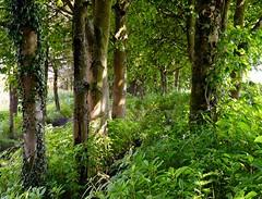 A walk in the woods (rustyruth1959) Tags: flowers plants weeds ivy leaves bark yorkshire nature undergrowth green light sunlight outdoor woods trees footpath batingsreservoir ripponden calderdale nikkor nikond3200 nikon landscape forest serene