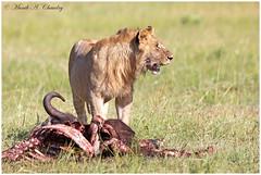 Hungry Prince! (MAC's Wild Pixels) Tags: hungryprince lion subadultmalelion lionking lionpride wildafrica wildcats wildanimal feeding buffalo maasaimaragamereserve kenya macswildpixels buffalofeast ngc npc