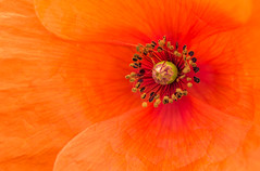 210/366: Come closer (judi may) Tags: 366the2016edition 3662016 day210366 28jul16 poppy red orange vibrant colourful colour flower macro canon7d